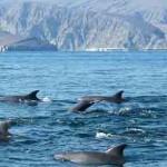 Dauphins aperçus à Oman lors d'une croisière fjords khassab
